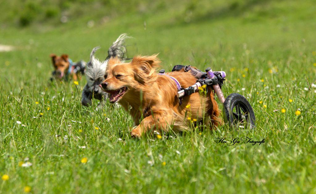 fröhliche Handicaphunde